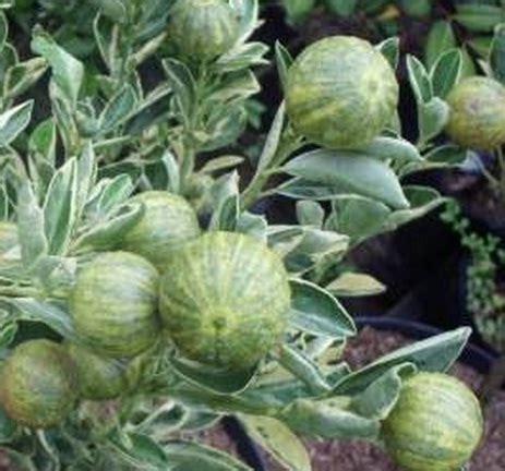 Daun Ungu Variegata 20 40cm tanaman jambu biji variegata jual tanaman hias