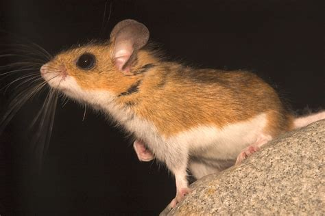 Mice Living In by New Research Discovers Metabolic Adaptation To High Altitudes