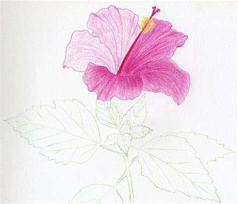 Pink Sketches by Hibiscus Flowers Drawing Tutorial
