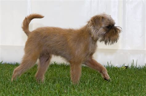griffon breed small breeds that dont shed newhairstylesformen2014