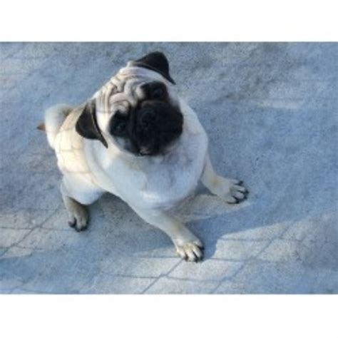 canadian pug breeders loparr kennel pug breeder in dunnellon florida