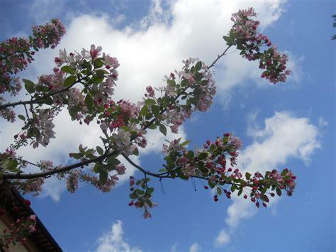 pero da fiore il pero da fiore pendulo l albero avvolge il cielo di