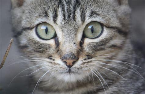 imagenes de ojos verdes de gatos nombres de gato de la quot m quot a la quot n quot wikipets