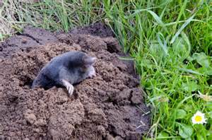 Small Holes In Backyard How To Get Rid Of Moles In The Yard The Housing Forum