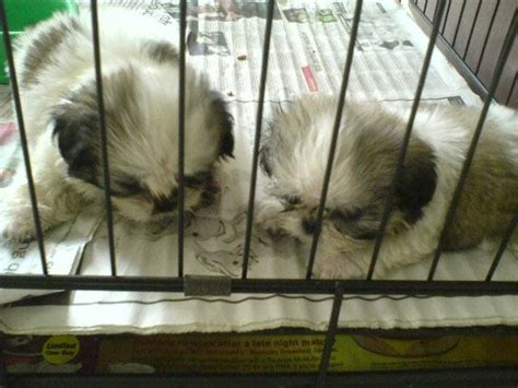 shih tzu puppies for sale nz shih tzu for sale for sale in selangor malaysia breeds picture