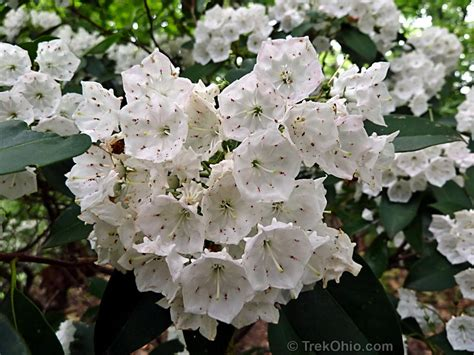mountain laurel in bloom at shallenberger trekohio