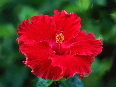 fiore di ibisco significato significato ibisco significato dei fiori ibisco