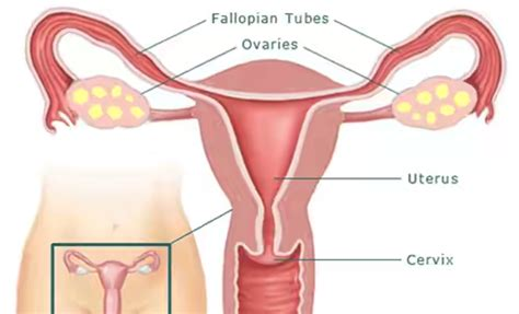 diagram of fallopian and uterus scientists can now grow fallopian yungkayblog