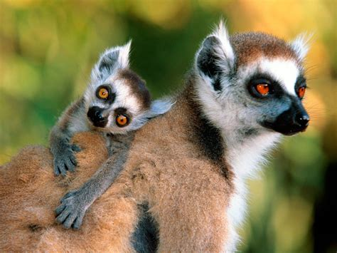 monkey and monkeys images lemurs hd wallpaper and background photos 14750770