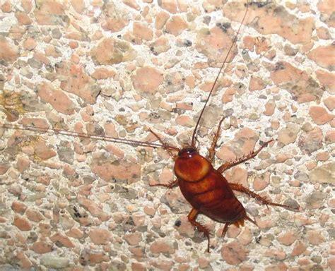 blatte rosse volanti scarafaggi volanti in casa 28 images infestazione