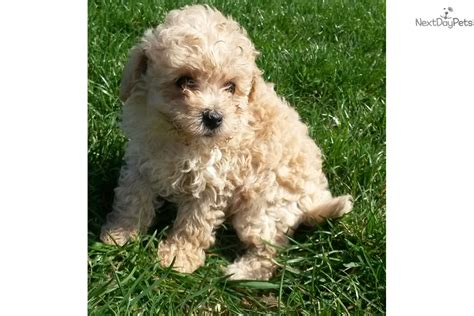 mini goldendoodles maryland mini goldendoodle goldendoodle puppy for sale near