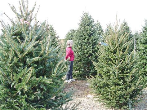 advice on christmas trees roots or not yorkshire reporter