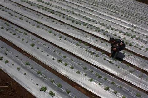 Mulsa Plastik Pertanian Cap Kuda plastik mulsa untuk pertanian jual mulsa plastik untuk pertanian tambak