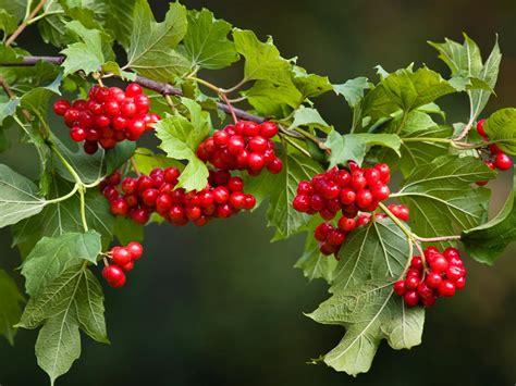 And Berries viburnum berries diy