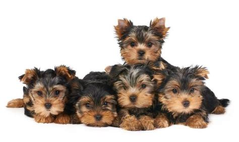 teacup yorkie supplies teacup terrier puppies nature pet accessories my and