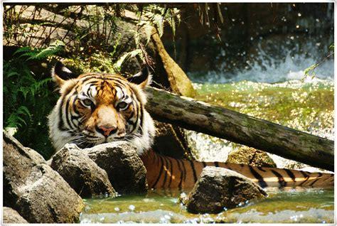 tiger denmark wwf denmark tiger korridor kan redde de smukke dyr