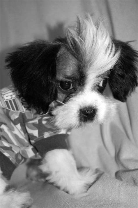 shih tzu puppy mohawk cut, too cute    Doggies!!!