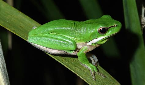 backyard frogs how to make your backyard frog friendly australian