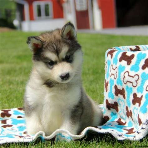 dogs for sale in alaska alaskan malamute puppies for sale in pa