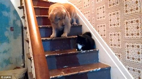 golden retriever stairs golden retriever refuses to walk past cat on stairs daily mail