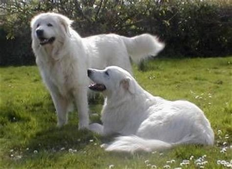 puppy in italian sheep dogs maremma sheepdog and italian on