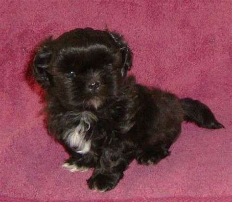 black shih tzu puppies for sale 301 moved permanently