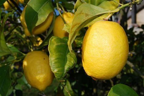 come coltivare il limone in vaso come coltivare il limone in vaso qualche consiglio