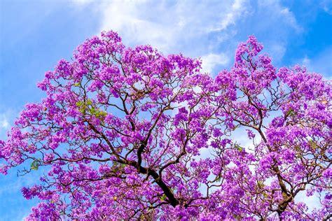 l albero fiorito jacaranda l albero fiorito per eccellenza