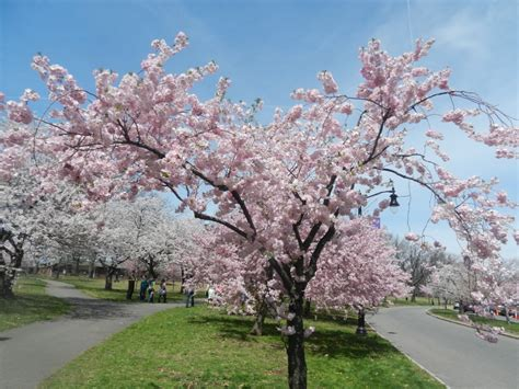 newark cherry blossom festival and vegan meals vegan world trekker vegan travel