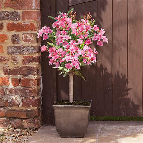 pink oleander patio  standard  cm