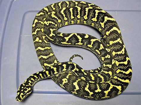 Jungle Carpet Python Breeding Breeding Carpet Pythons