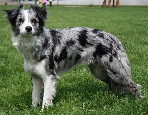 blue merle puppy meet my magnum a fearless blue merle amazing animals