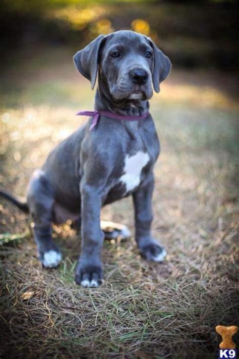 Great dane pup best friends pinterest