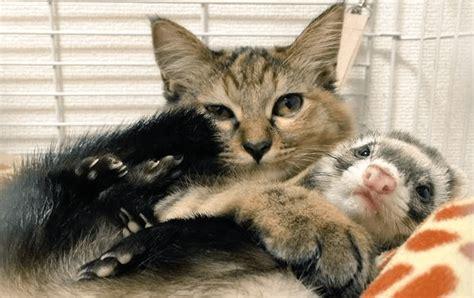 furetto alimentazione la gatta komari e i suoi fratelli furetti