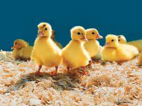 animals pictures farm animals collection domestic animals wallpaper