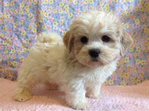 bichon mixed with shih tzu bichon shih tzu mix
