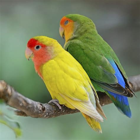 Mainan Burung The Parrot No 600 how to stop biting in lovebirds pets