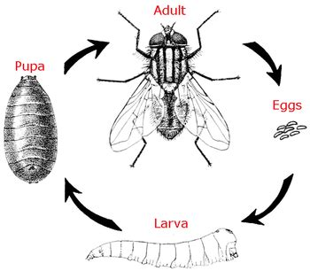 house fly life span house fly life cycle images house and home design