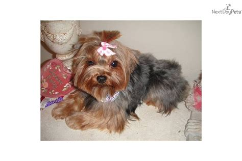 teacup yorkie adults two teacup yorkie puppies available for adoption breeds picture