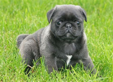 silver pug puppies pin the silver pug peterson kendra pugs on