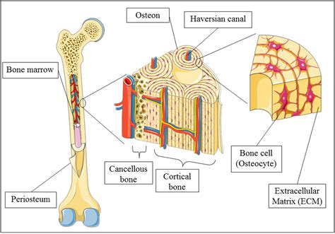 advances in bone tissue engineering intechopen
