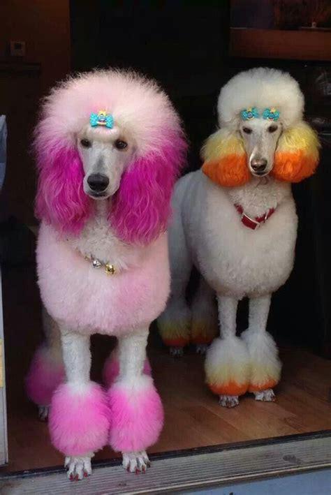 poodle colors peinados para su caniche rubia vestida de beige