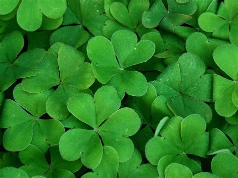 shamrock green grow a st patrick s day shamrock