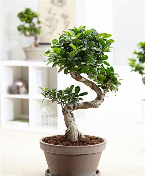 Bonsai Ficus Kaufen by Kaufen Sie Jetzt Zimmerpflanze Bonsai Ficus Ginseng