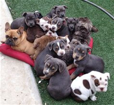 tri color pitbull puppies for sale tri color american bully pitbull puppies for sale breeder located in california and