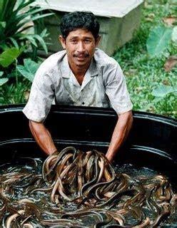 Bibit Belut Jakarta mina padi tip budidaya dari beberapa pelaku utama bisnis belut indonesia