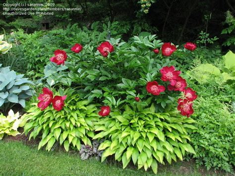 Peony Garden by Plantfiles Pictures Peony Garden Peony Nippon