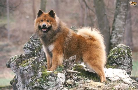 breed facts eurasier breed information buying advice photos and facts pets4homes