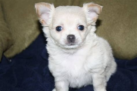 free puppies tacoma wa akc chihuahua puppies for sale in tacoma washington pets of america