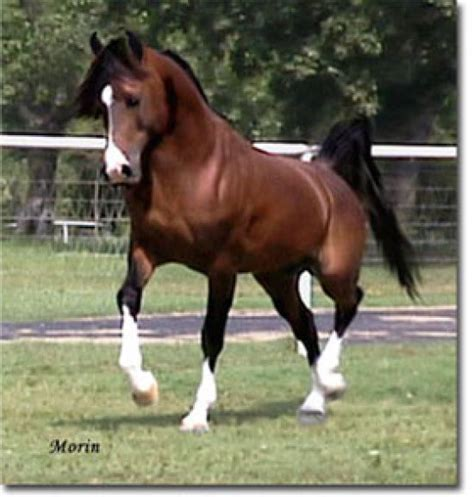 google images horses arabian horses google search just horsing around